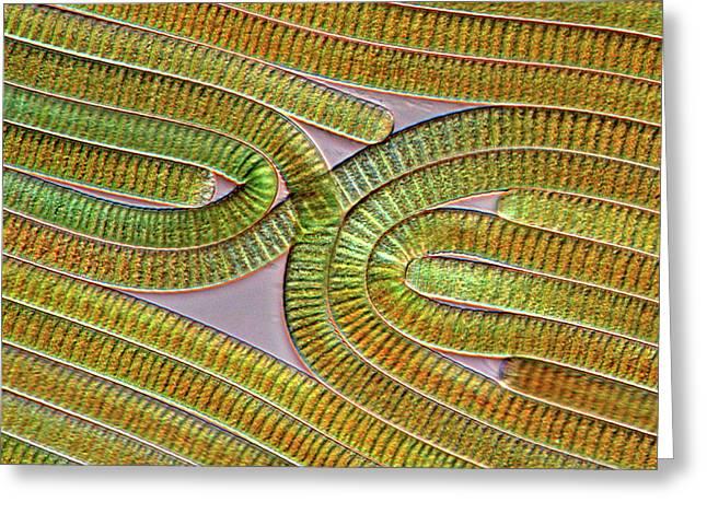Oscillatoria Cyanobacteria Greeting Card by Marek Mis