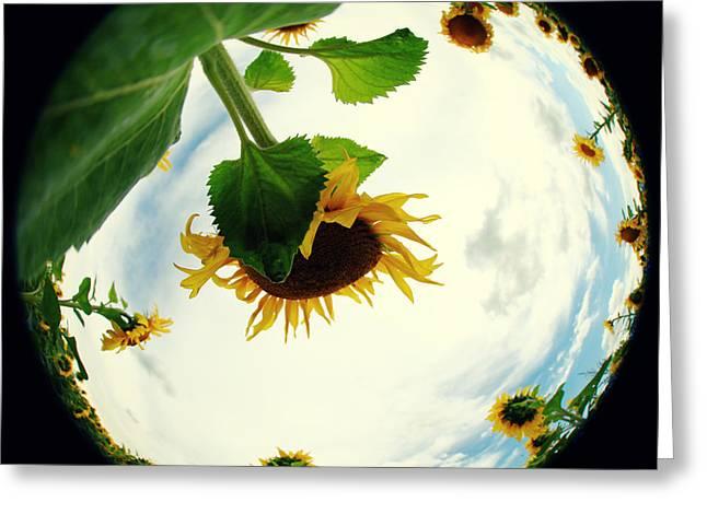 Sunflowers Greeting Card by Falko Follert