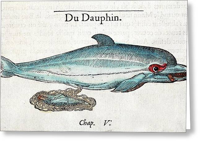 1554 Rondelet Dolphin Foetus Placenta Greeting Card by Paul D Stewart