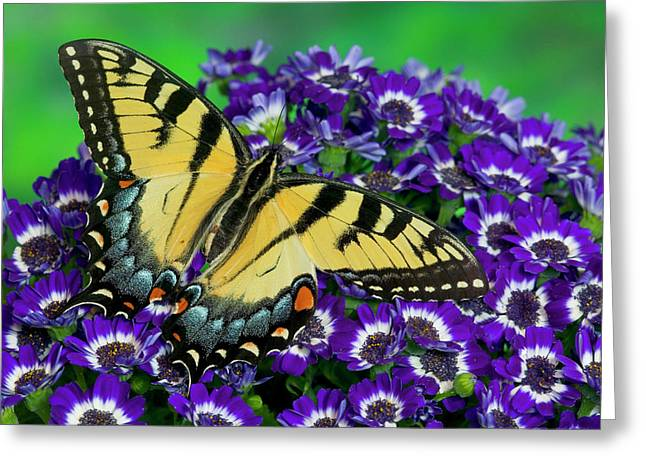 Eastern Tiger Swallowtail Papilio Greeting Card