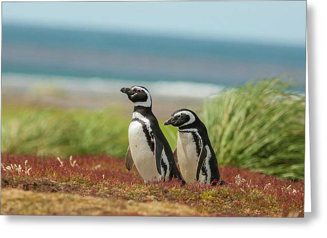 Falkland Islands, Sea Lion Island Greeting Card by Jaynes Gallery