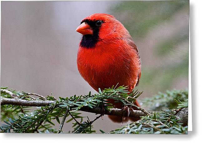 Northern Cardinal Male Greeting Card by Dan Ferrin