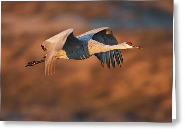 Sandhill Crane (grus Canadensis Greeting Card