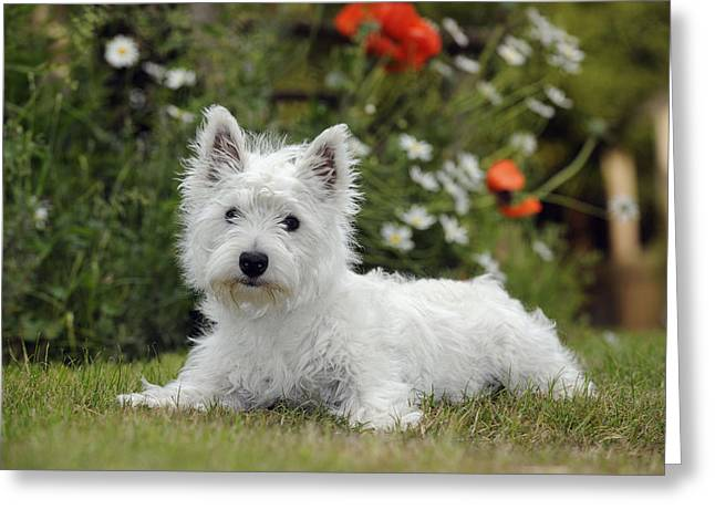 West Highland White Terrier Greeting Card by John Daniels