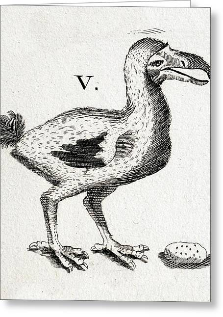 1657 Pre Extinction Image Of Skinny Dodo Greeting Card by Paul D Stewart