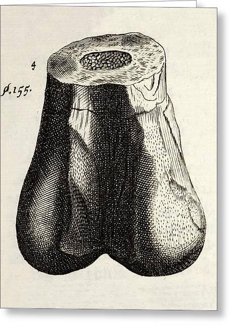 1677 First Ever Dinosaur Bone Robert Plot Greeting Card