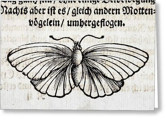 1683 Maria Merian Black Veined White Greeting Card by Paul D Stewart