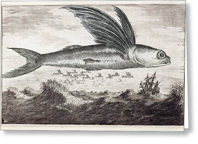 1693 Flying Fish Johan Nieuhof Greeting Card