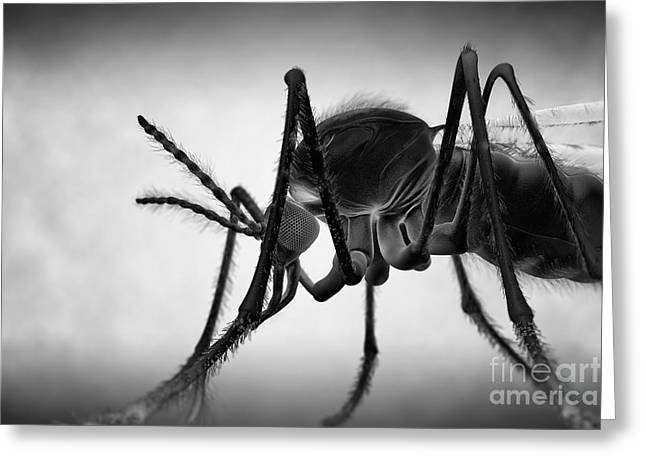 Anopheles Mosquito Greeting Card by Science Picture Co