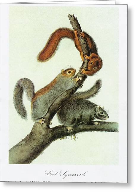 Audubon Squirrel Greeting Card by Granger