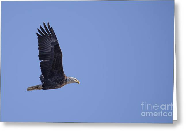 Bald Eagle In Le Claire Iowa Greeting Card by Twenty Two North Photography