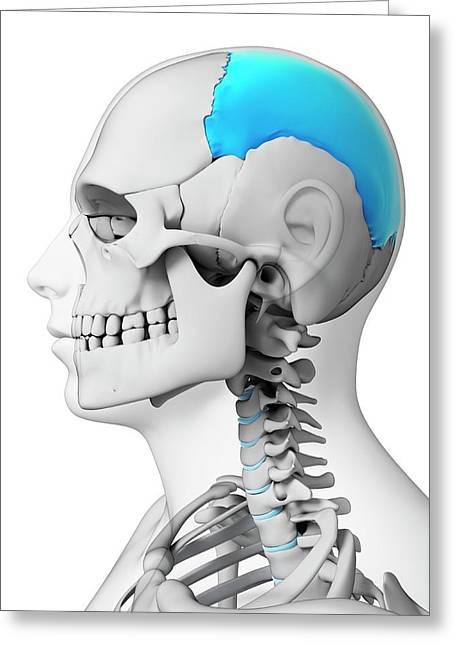 Human Skull Greeting Card by Sebastian Kaulitzki