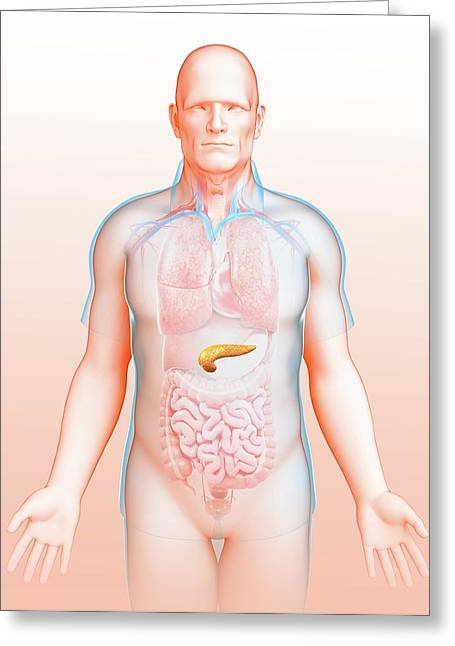 Male Pancreas Greeting Card by Pixologicstudio/science Photo Library