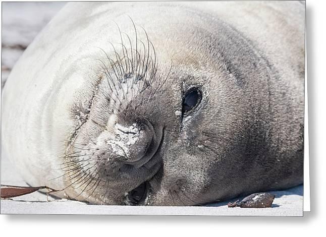 Southern Elephant Seal (mirounga Leonina Greeting Card