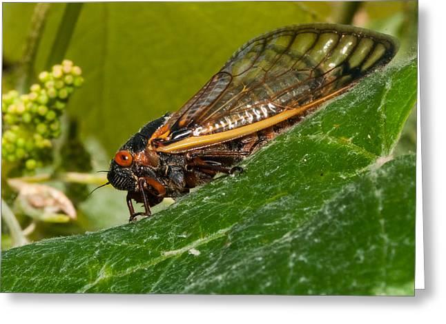 17 Year Cicada 3 Greeting Card by Lara Ellis