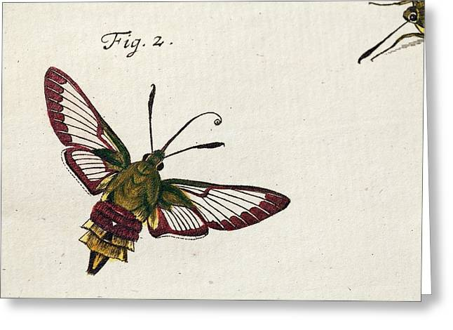 1744 Roesel Von Rosenhof Bee Hawk Moth Greeting Card