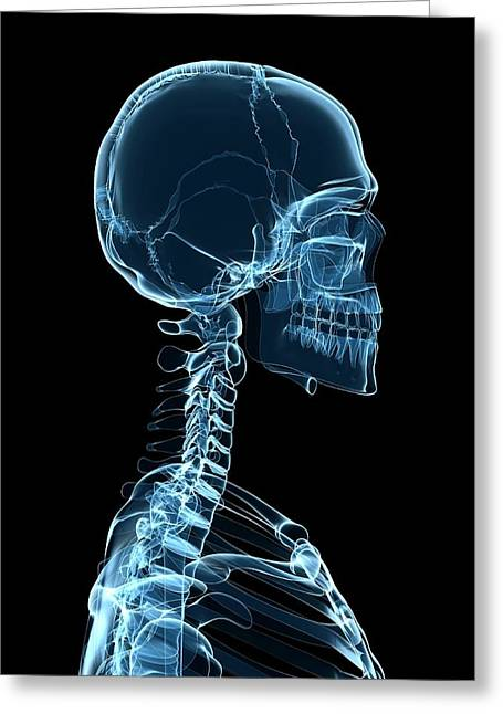 Male Skeleton Greeting Card by Sciepro/science Photo Library