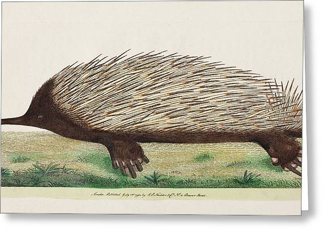 1792 Shaw First Illustration Of Echidna Greeting Card by Paul D Stewart