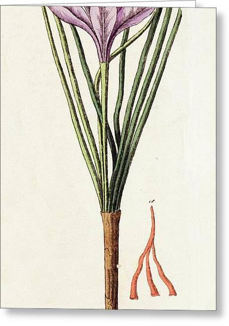 1795 Saffron Crocus Sativus Illustration Greeting Card