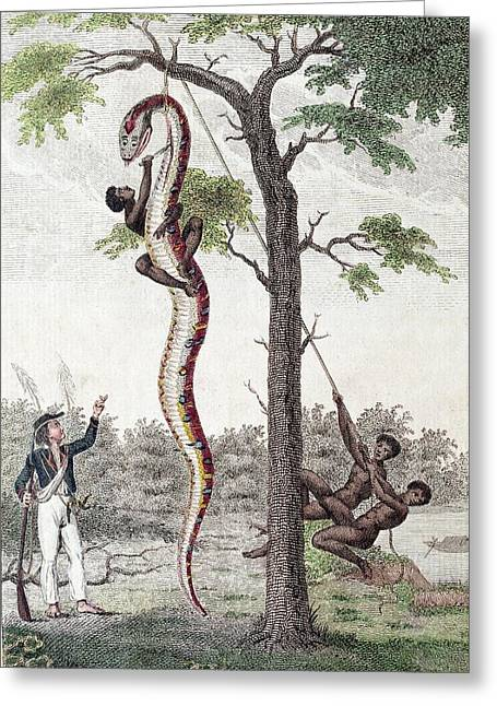 1796 Stedman Skins Giant Anaconda Snake Greeting Card by Paul D Stewart
