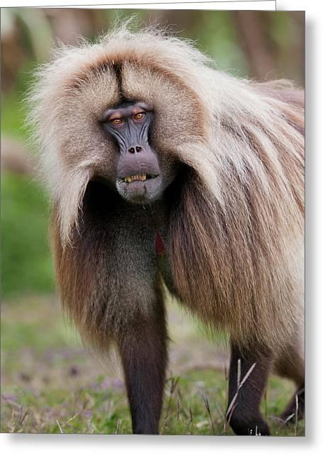 Gelada, Gelada Baboon (theropithecus Greeting Card