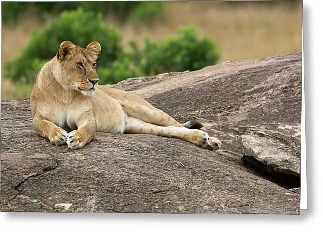 Kenya, Masai Mara Greeting Card by Jaynes Gallery