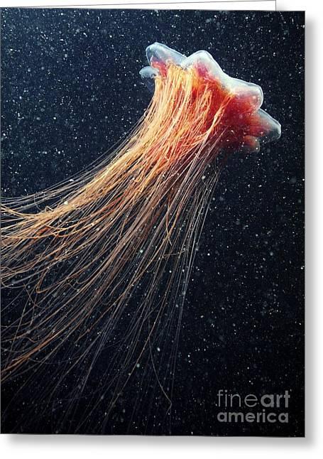 Lions Mane Jellyfish Greeting Card