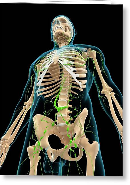 Lymphatic System Greeting Card by Sciepro/science Photo Library