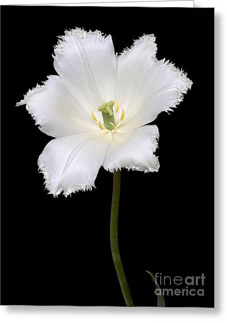 Tulip Tulipa Gesneriana Greeting Card