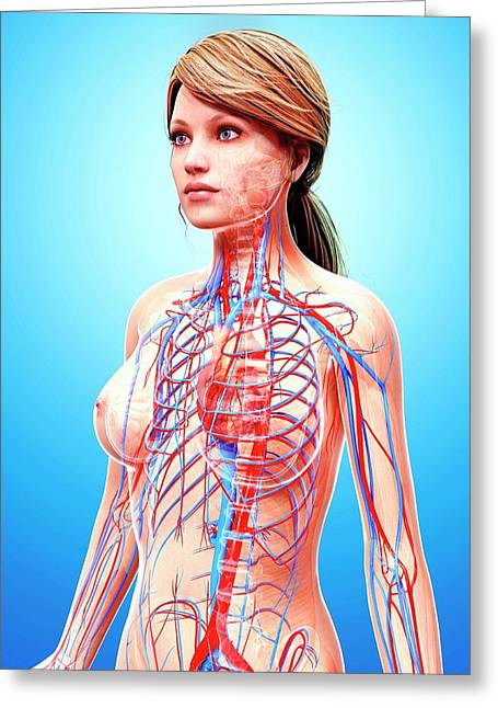 Female Cardiovascular System Greeting Card by Pixologicstudio/science Photo Library