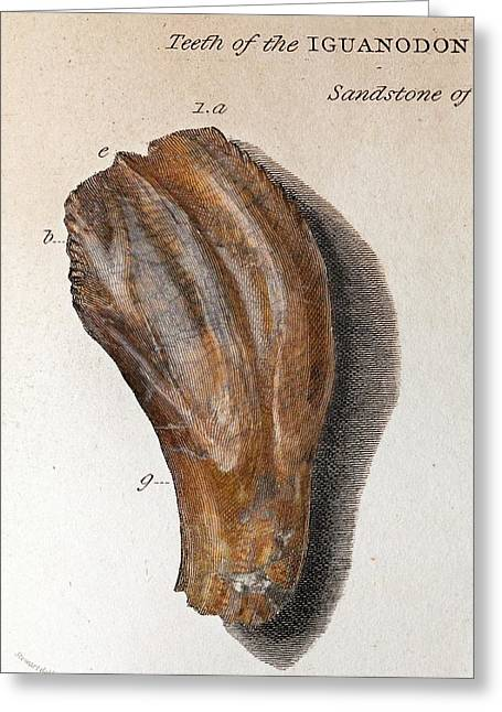 1825 Mantell First Iguanodon Tooth Colour Greeting Card by Paul D Stewart