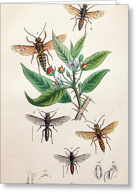 1845 Obadiah Westwood Insect Painting Greeting Card