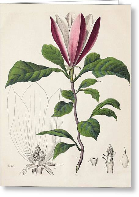 1847 Magnolia Primitive Flower Bracts Greeting Card by Paul D Stewart