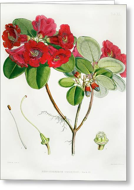1851 Rhododendron Named By Joseph Hooker Greeting Card by Paul D Stewart