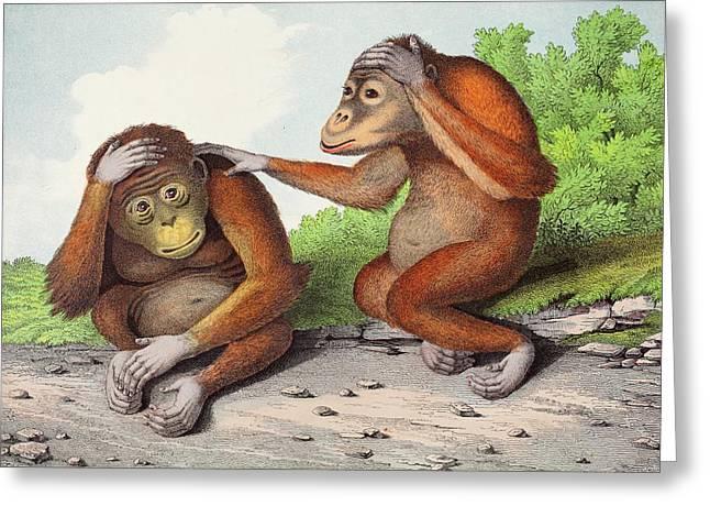 1860 Two Sweet Orangutan Illustration Greeting Card by Paul D Stewart