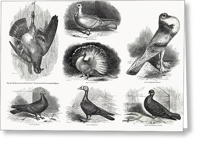 1868 Darwin Pigeon Breeds Illustration Greeting Card by Paul D Stewart