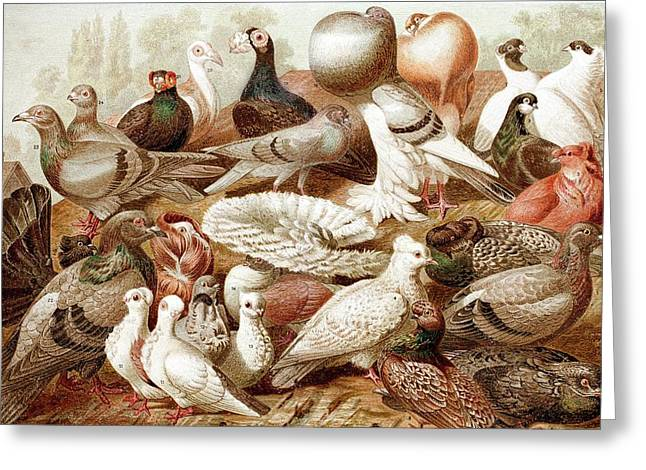 1870 Domestic Fancy Pigeon Breeds Darwin Greeting Card