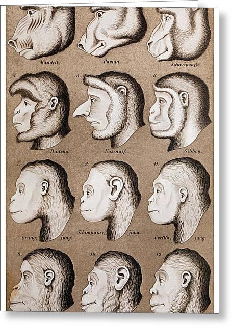 1870 Haeckel Ape Monkey Illustration Greeting Card