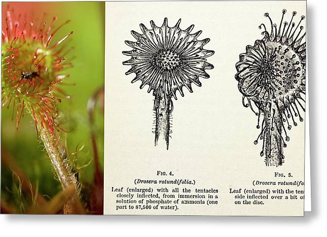1875 Darwin Insectivorous Plant Drosera Greeting Card by Paul D Stewart