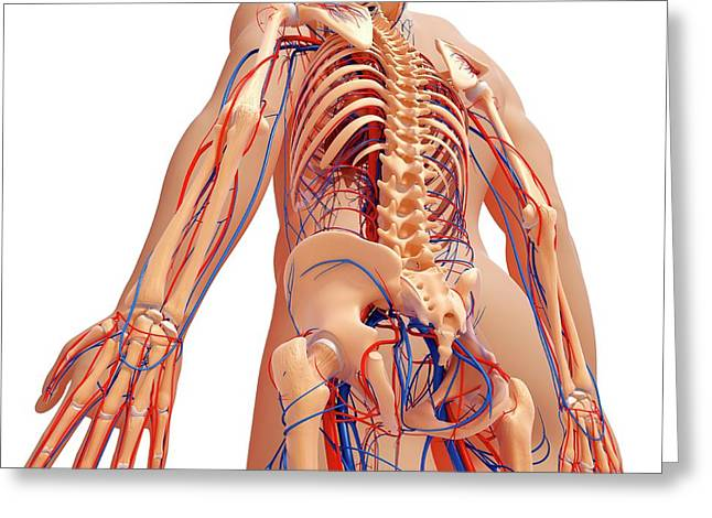 Human Anatomy Greeting Card by Pixologicstudio/science Photo Library