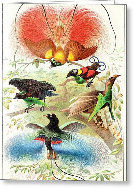 1894 Bird Of Paradise Wrong Display Poses Greeting Card by Paul D Stewart