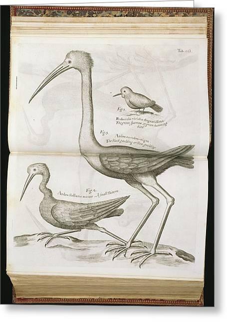 18th Century Bird Illustrations Greeting Card