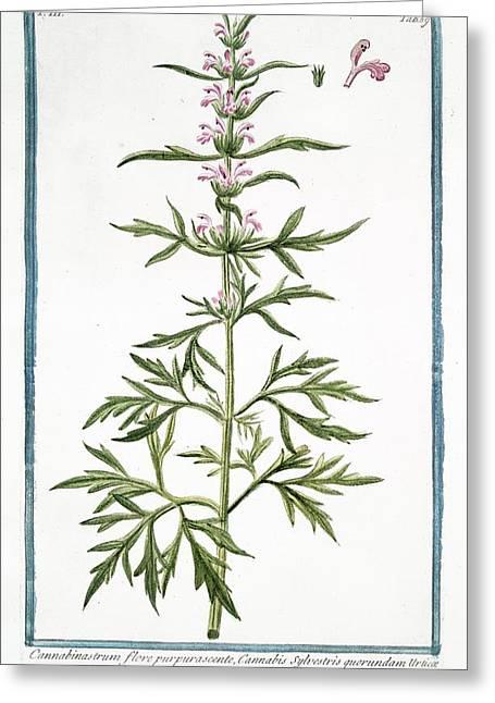 18th Century Botanical Illustration Greeting Card