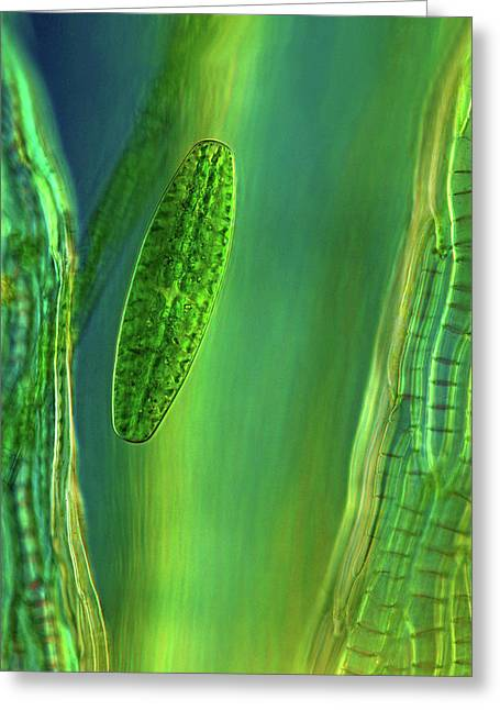 Desmid On Sphagnum Moss Greeting Card