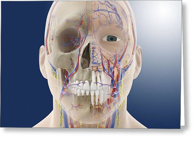 Head And Neck Anatomy, Artwork Greeting Card by Science Photo Library