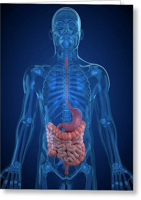 Healthy Digestive System Greeting Card by Sciepro/science Photo Library