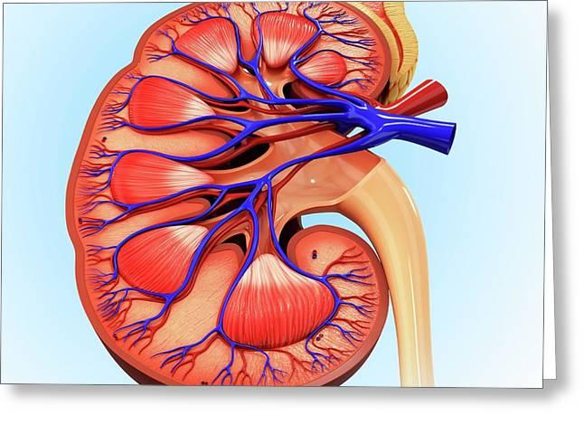 Human Kidney Greeting Card