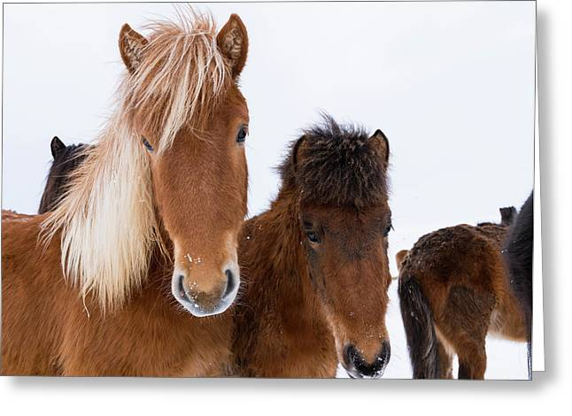 Icelandic Horse With Typical Winter Coat Greeting Card