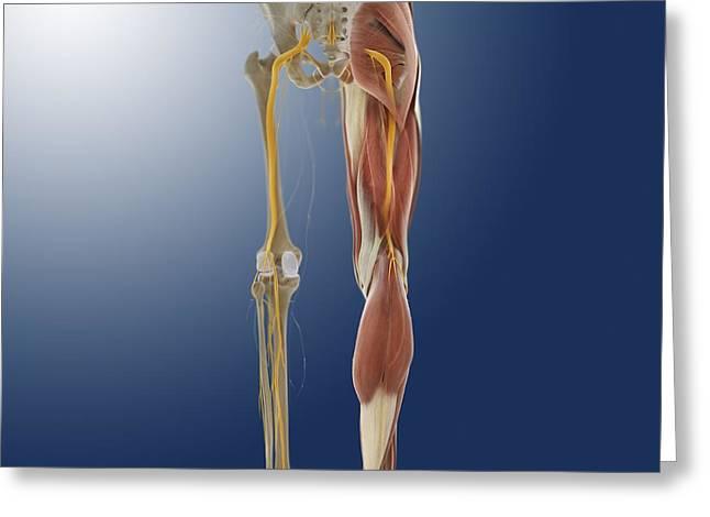Lower Body Anatomy, Artwork Greeting Card