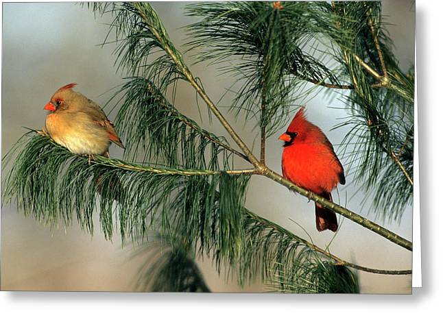 Northern Cardinal (cardinalis Cardinalis Greeting Card